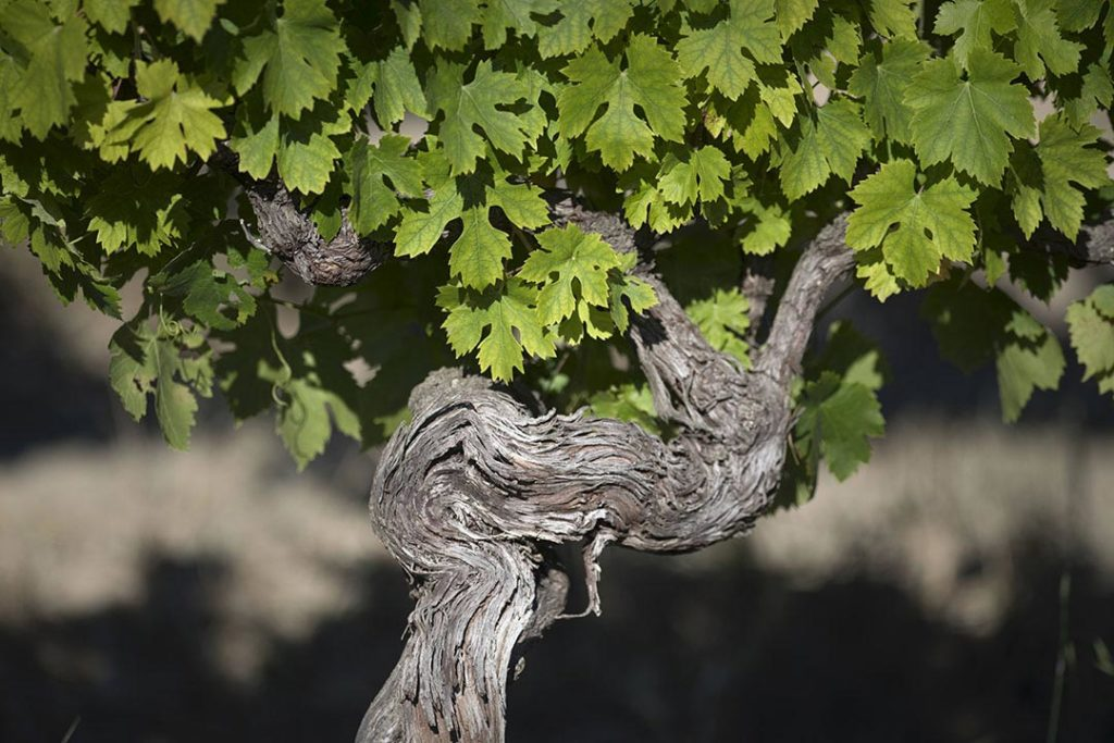 vignoble mas des justes vigne